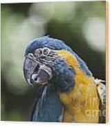 Blue And Gold Macaw V5 Wood Print