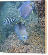 Blue Angelfish Feeding On Coral Wood Print