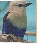 Blue-bellied Roller Wood Print