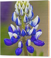 Blue Bonnets Lupinus Wood Print