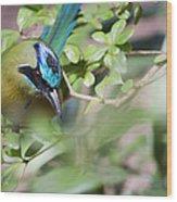 Blue-crowned Motmot Wood Print by Rebecca Sherman