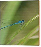 Blue Damselfly Wood Print