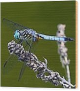 Blue Darter Wood Print