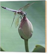 Blue Dragonflies Love Lotus Buds Wood Print by Sabrina L Ryan
