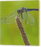 Blue Dragonfly 6 Wood Print