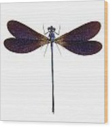 Blue Dragonfly Species Vestalis Luctuosa Wood Print