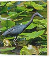 Reddish Egret Among The Lily Pads Wood Print