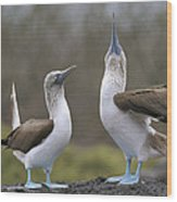 Blue-footed Boobies Courting Galapagos Wood Print by Tui De Roy