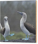 Blue-footed Booby Courtship Dance Wood Print