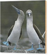 Blue Footed Booby Dancing Wood Print