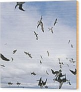 Blue-footed Booby Diving For Herring Wood Print