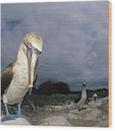 Blue-footed Booby Galapagos Islands Wood Print
