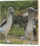 Blue-footed Booby Pair In Courtship Wood Print