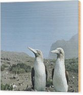 Blue-footed Booby Pair With Nesting Wood Print