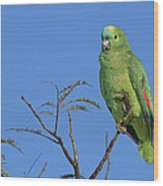 Blue-fronted Parrot Emas National Park Wood Print