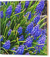 Blue Grape Hyacinth Wood Print