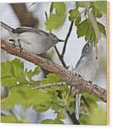 Blue-gray Gnatcatcher Wood Print
