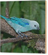 Blue-gray Tanager Wood Print