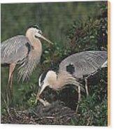Blue Heron Feeding Young Wood Print