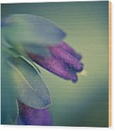 Blue Honeywort Wood Print