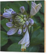 Blue Hosta Wood Print
