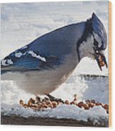 Blue Jay Chow-down Wood Print