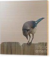 Blue Jay Eating Corn Wood Print