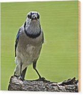 Blue Jay Meal Time Wood Print