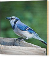 Blue Jay In Backyard Feeder Wood Print