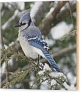Blue Jay On Hemlock Wood Print