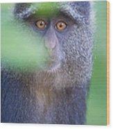 Blue Monkey Cercopithecus Mitis, Lake Wood Print
