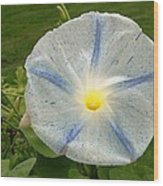 Spectacular Blue Morning Glory Wood Print