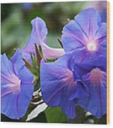 Blue Morning Glory Wildflowers - Convolvulaceae Wood Print