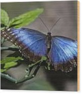Blue Morph Butterfly Wood Print
