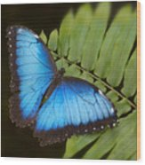 Blue Morpho Butterfly On Fren Dsc00441 Wood Print