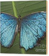 Blue Morpho - Morpho Peleides Wood Print