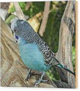 Blue Parakeet Wood Print by Renee Barnes