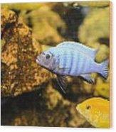 Blue Reef Fish Wood Print
