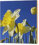 Blue Sky Spring Bright Daffodils Flowers Wood Print