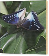 Blue-spotted Charaxes Butterfly #2 Wood Print