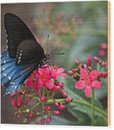 Blue Swallowtail Butterfly  Wood Print