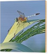 Blue Tail Dragonfly On Navarre Beach Wood Print