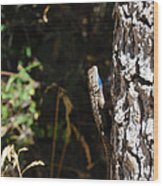 Blue Throated Lizard 1 Wood Print