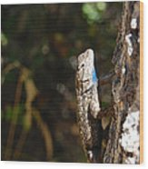 Blue Throated Lizard 2 Wood Print