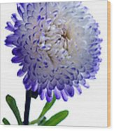 Blue Tipped Aster Wood Print