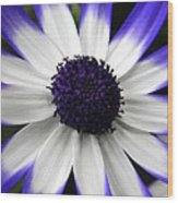 Blue Tipped Osteospermum Wood Print