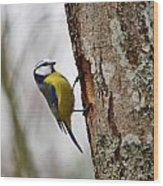 Blue Tit Searching Home Wood Print