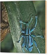 Blue Tropical Weevil Wood Print