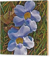 Blue Trumpet Vine In Manuel Antonio's Butterfly Botanical Garden-costa Rica Wood Print