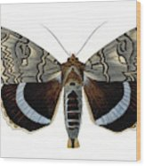 Blue Underwing Moth Wood Print